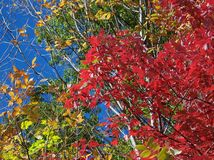Color Change in the Fall. Trees in various stages of color in autumn Stock Photo
