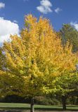 Color Changing. A beautiful tree changing colors in Autumn, against a blue sky stock image