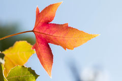 Color changing maple leave Royalty Free Stock Photo