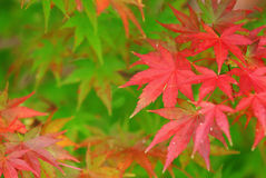Color changing maple leave Royalty Free Stock Photos