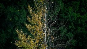 Free Color Changing Tree From Summer To Fall Royalty Free Stock Photo - 135016635