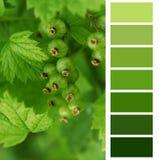 Color chart palette swatches. Unripe currant color chart palette swatches royalty free stock photo