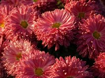 Color chrysanthemum Royalty Free Stock Image