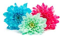 Color chrysanthemum Stock Photography