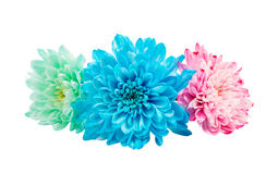 Color chrysanthemum Royalty Free Stock Photography