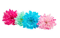 Color chrysanthemum Stock Photo