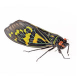 Color cicada isolated Royalty Free Stock Photo