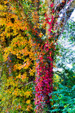Color Climbing Vines. Colored vines climbing a tree royalty free stock photography