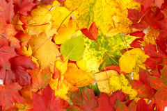 Color composition from autumn leaves Stock Image
