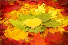 Color composition from autumn leaves Stock Images