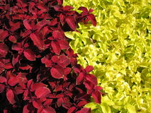 Color contrast from plants. Red and yellow. Royalty Free Stock Photography
