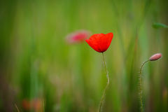 Color contrast between poppy and green field with Royalty Free Stock Image