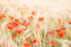 Color contrast: red poppy and yellow wheat. Color contrast: red poppy and yelow wheat, poppies in wheat field under the morning sun Stock Photography