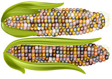 Color corn Royalty Free Stock Photography