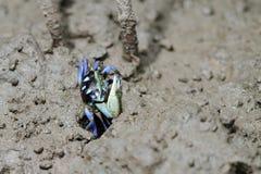 color crab Stock Photos