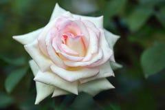 Color crema adorabile è aumentato Macro Immagine Stock Libera da Diritti