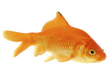 Color crucian carp - (Carassius carassius) Royalty Free Stock Photo