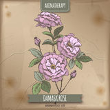 Color Damask rose sketch on old paper background. Royalty Free Stock Photos