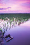 Color of dawn at Paddy field. Rice is main food in ASIAN country, it's seeds from type of semi-aquatic grass. This drain serve as one of the main drain that royalty free stock photos