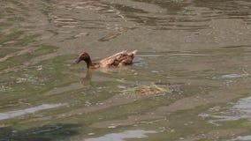 Color de Brown de la natación del pato en el lago Es un waterbird con una cuenta embotada amplia, piernas cortas almacen de metraje de vídeo