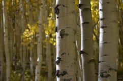 Color de Colorado: Abedules y oro Imagen de archivo libre de regalías