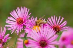 Color de la abeja Imagen de archivo