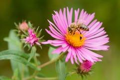 Color de la abeja Imagenes de archivo