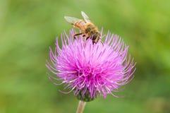 Color de la abeja Fotos de archivo