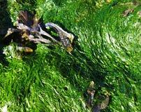 Color de la alga marina Fotos de archivo libres de regalías