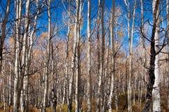 Color de la caída, árboles del álamo temblón Foto de archivo