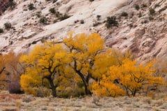 Color de la caída con los árboles del Cottonwood imagenes de archivo