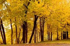 Color de la caída, olmo Grove1 del corcho Fotografía de archivo
