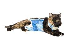 Color de la concha del gato después de la esterilización de la operación Fotografía de archivo