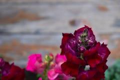 Color de la púrpura de la flor de los gladiolos Foto de archivo libre de regalías