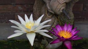 Color de Lotus Flowers, violeta y blanco en una charca almacen de video