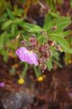 Color de malva de la flor salvaje con descensos del agua fotografía de archivo