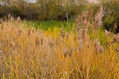 Color de oro amarillo colorido de la hierba de lámina en el campo Otoño imágenes de archivo libres de regalías