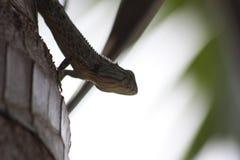 Color de piel del camaleón a mezclar con el árbol Fotografía de archivo