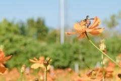 color de proceso, abeja en la flor que sorprende, abeja polinizada de orang Imagenes de archivo