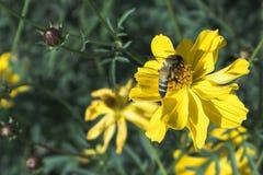 color de proceso, abeja en la flor que sorprende, abeja polinizada de yello Imagen de archivo libre de regalías