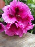 Color de rosa fotografía de archivo
