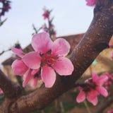 Color de rosa Foto de archivo libre de regalías