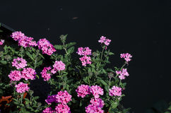 Color de rosa Imagen de archivo