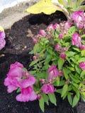 Color de rosa Imagen de archivo libre de regalías