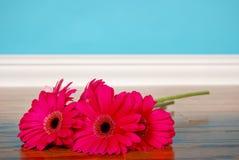 Color de rosa caliente Gerberas Imagen de archivo