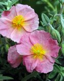 Color de rosa de Helianthemum ?Wisley? fotos de archivo libres de regalías