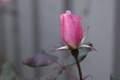 Color de rosa de la golosina fotos de archivo