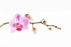 Color de rosa de la orquídea Imagen de archivo