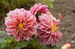 Color de rosa - flores blancas de la dalia Foto de archivo libre de regalías