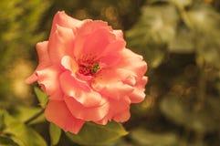 Color de rosa hermoso y la abeja. Imagen de archivo libre de regalías